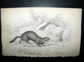 Jardine 1838 Antique Hand Col Print. Pole Cat